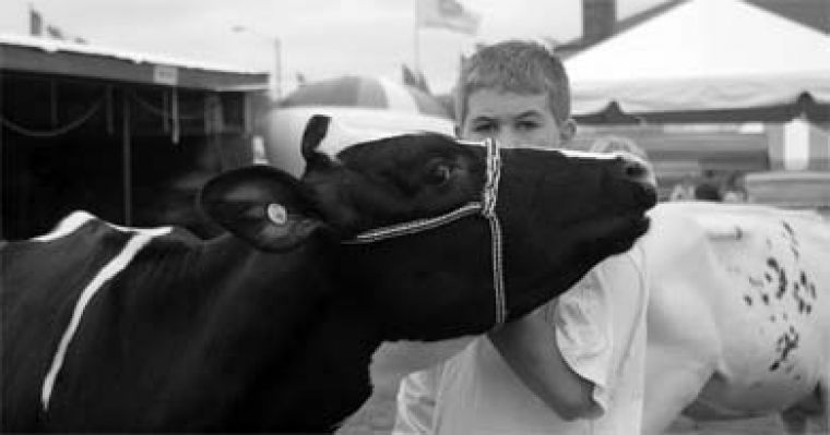 Each year, participants in the 4-H program for youth interested in agriculture show their cattle at the Fall Fair.