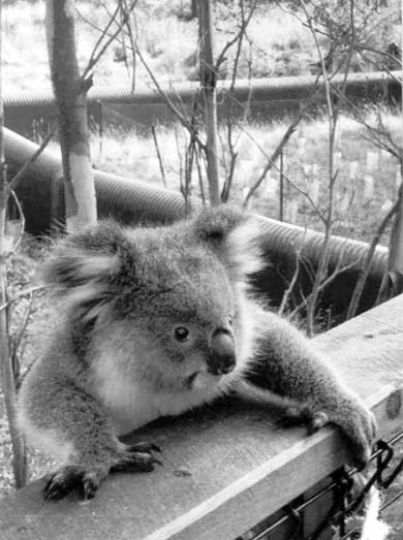 A baby koala crawls into view at Healesville Animal Sanctuary.