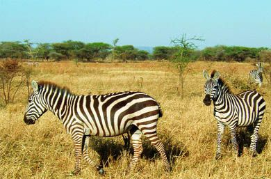 Three zebras traverse the Serengeti plain.