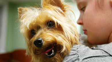 This yorkshire terrier needs to visit the groomer about every eight weeks, which could pose a challenge for many students.