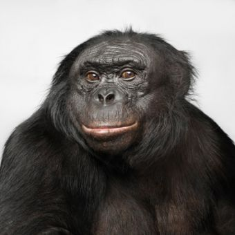 "Chivers showed subjects videos of bonobos mating. To increase their ""pornographic"" nature, she added sounds to the videos."