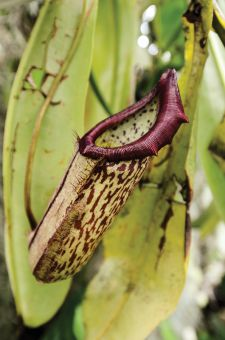 The Tropical Pitcher Plant uses a cup-shaped flower to hold liquid and drown prey.