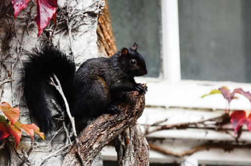 Squirrels have been a nuisance to buildings like Ontario Hall for years, though officials say this year has seen a particular rise in squirrels nesting in campus buildings.