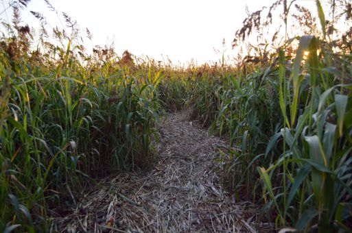 The Wolfe Island corn maze has been running for 13 years, and each year it continues to grow and develop.