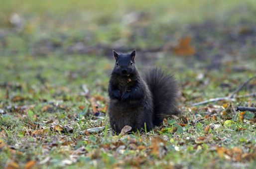 Climate change is expected to impact Kingston's famed squirrel population.