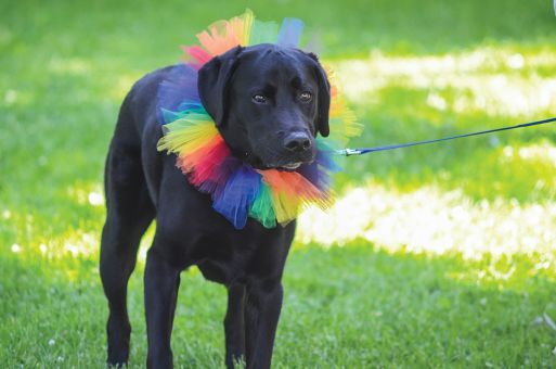 A dog partakes in the 25th annual Kingston Pride Parade, held on June 15 at City Park.