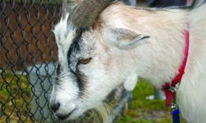 Children flocked to the Fall Fair's petting zoo, which included an alpaca, a large brown bunny, two chickens and a goat.