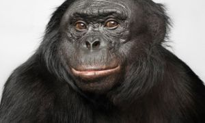 """Chivers showed subjects videos of bonobos mating. To increase their """"pornographic"""" nature, she added sounds to the videos."""
