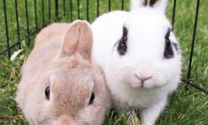 Holly and Dixie are two rabbits that the Kingston Animal Rescue took in after over 200 rabbits were removed from a residence in Ontario.