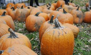 James Ready representatives gave away 130 pumpkins in the promotional event yesterday.
