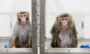 United/Continental will be the only major North American airline to ship research primates.